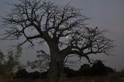 nocturne baobab