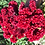 Thumbnail: CELOSIA Wooster Cockscomb
