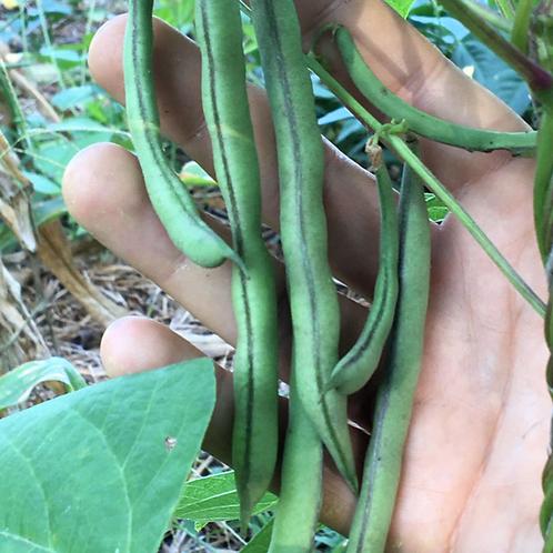 COMMON BEAN Cherokee Black Pole Beans