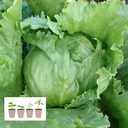 Crispino Iceberg Lettuce Transplant (4 pack)