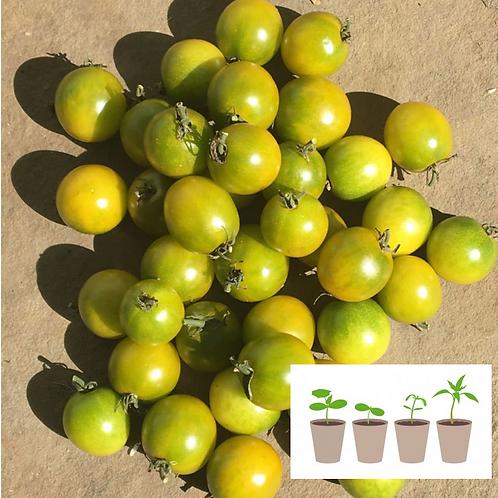 Green Doctor Cherry Tomato (2 pack)