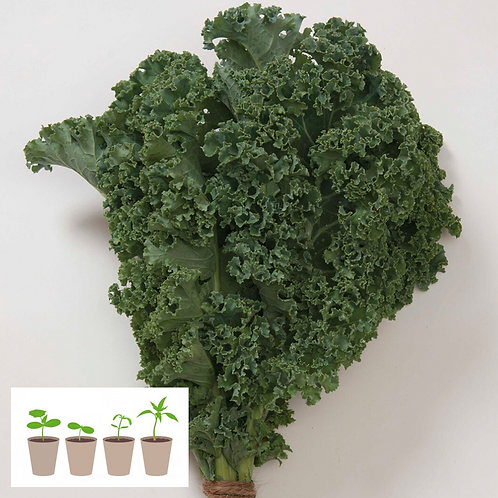 Winterbor Kale Transplant (4 pack)