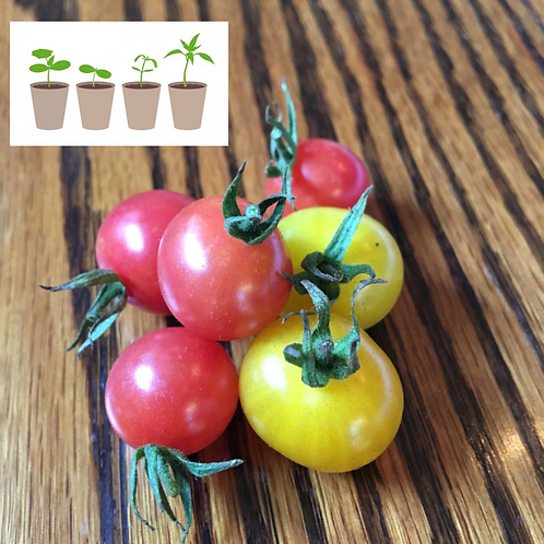 Two Tone Cherry Tomato (2 pack)