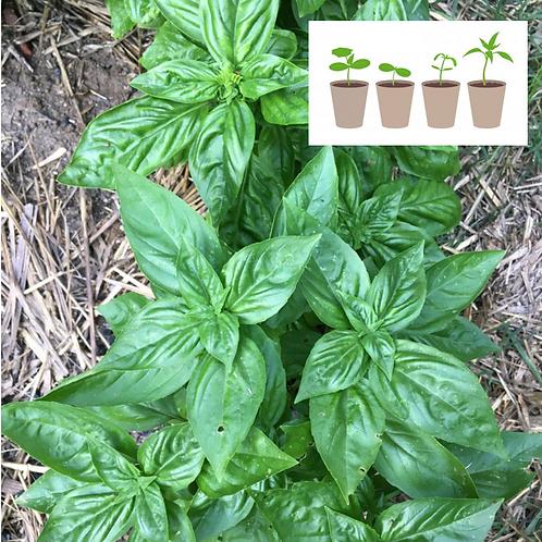 Genovese Basil (2 pack)