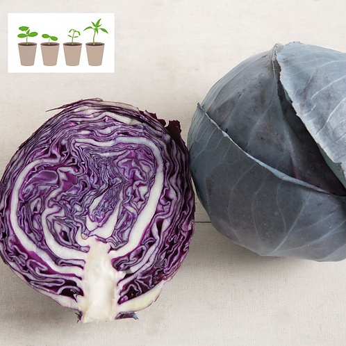 Omero Cabbage Transplant (4 pack)
