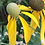 Thumbnail: WILDFLOWER Grayhead Prairie Coneflower