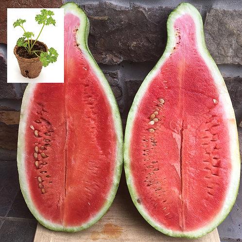 Texas Golden Watermelon (2 pack)