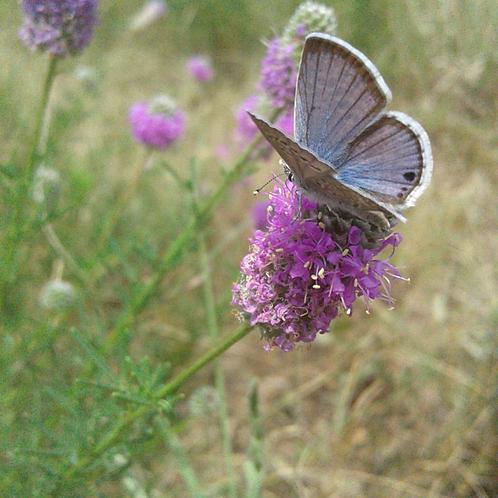 WILDFLOWER Purple Prairie Clover