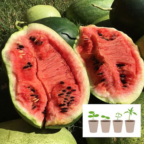 Desert Split Watermelon (2 pack)