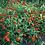 Thumbnail: ZINNIAS Little Orange