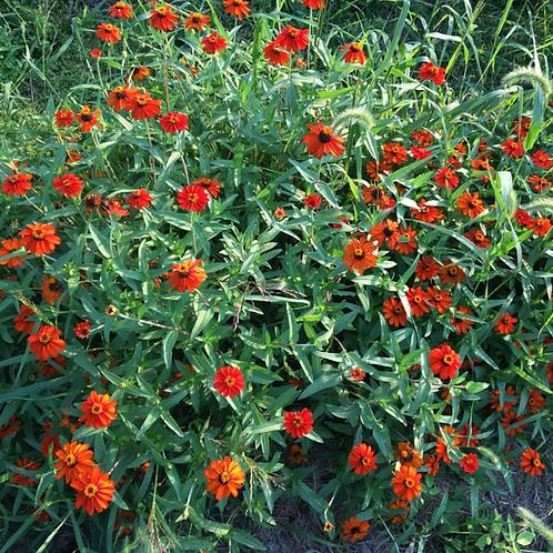 ZINNIAS Little Orange
