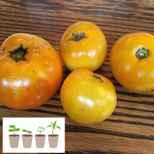 Sun Kiss Slicer Tomato (2 pack)