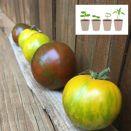 Zebras Slicer Tomato (2 pack)