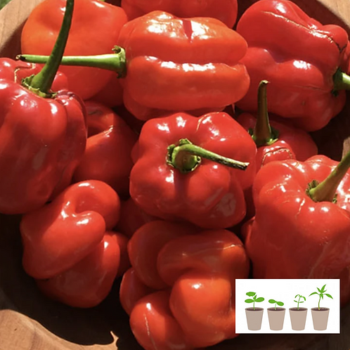 Big Jamaican Red Hot Pepper TRANSPLANT (2 pack)
