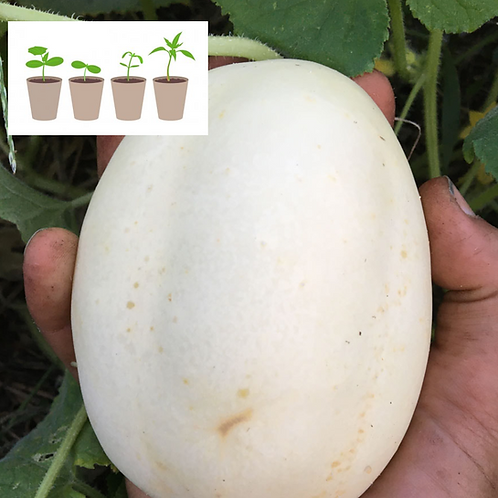 White Wonder Cucumber (2 pack)