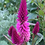 Thumbnail: CELOSIA Nigerian Red Plumed Cockscomb
