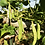 Thumbnail: COMMON BEAN Mayflower Bean