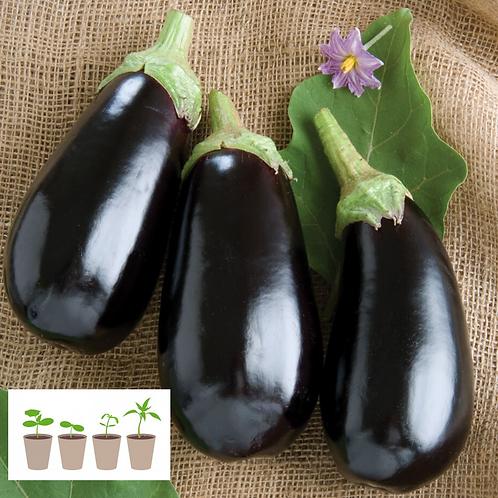 Nadia Eggplant Transplant (2 pack)