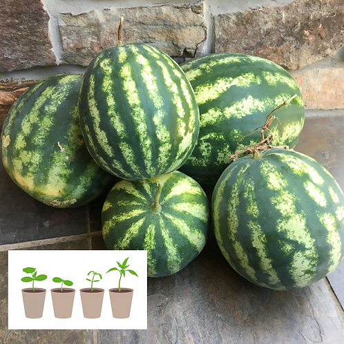 Yellow Fleshed Watermelon (2 pack)