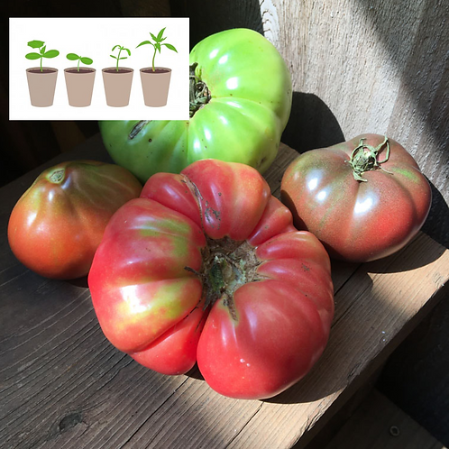 All Welcome Slicer Tomato (2 pack)