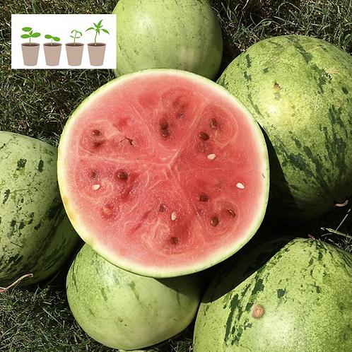 Navajo Red Seeded Watermelon (2 pack)