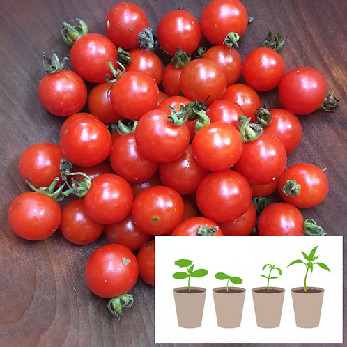 Matthew's Cherry Tomato (2 pack)