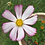 Thumbnail: COSMOS Pink Mix