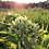 Thumbnail: WILDFLOWER Spider Milkweed