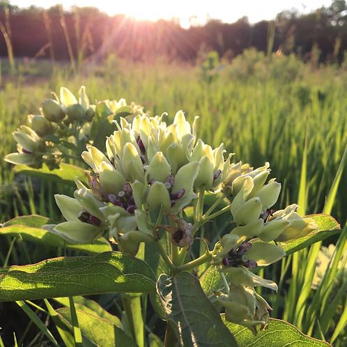 WILDFLOWER Spider Milkweed