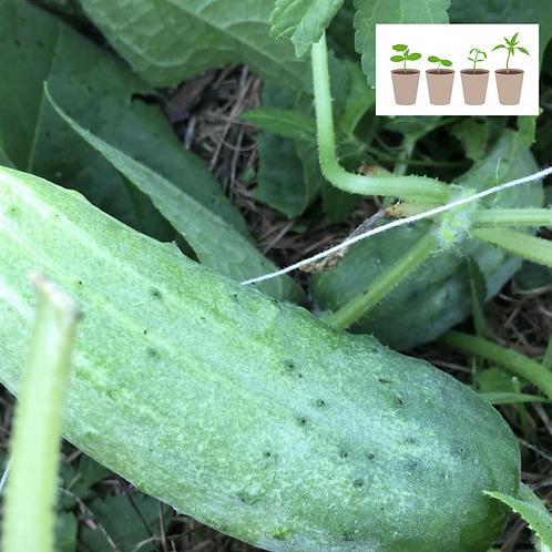 Resurrected Cucumber (2 pack)