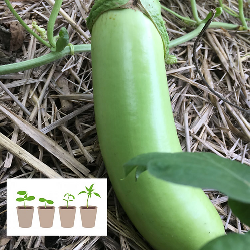 KCK Green Eggplant (2 pack)