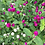 Thumbnail: GOMPHRENA Dos Colores Globe Amaranth