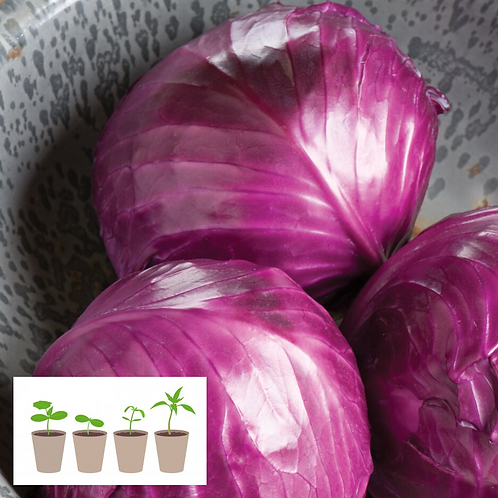 Ruby Perfection Cabbage Transplant (4 pack)
