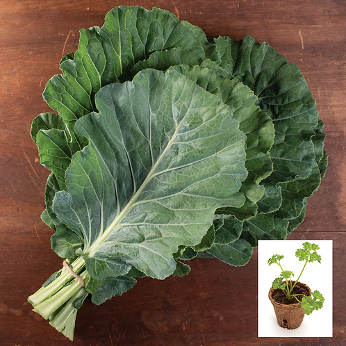 Top Bunch Collard Greens Transplant (4 pack)