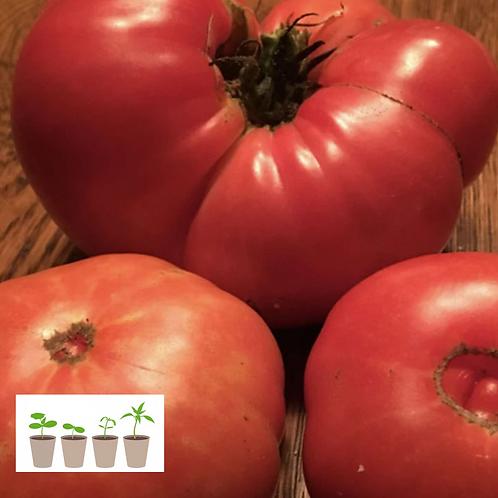 Beefsteak Slicer Tomato (2 pack)
