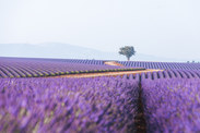 Wake up purple.