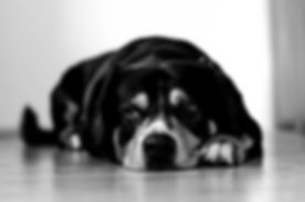 short-coated black and brown dog lying down on brown surface_edited.jpg