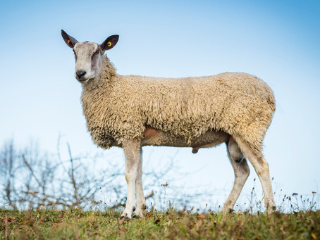 Breed Spotlight - Bluefaced Leicester