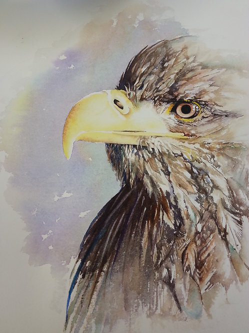 White tailed Eagle.