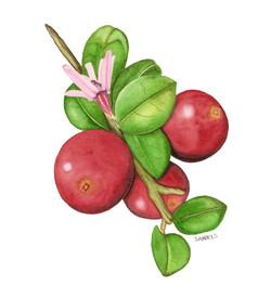 Cranberry Sprig