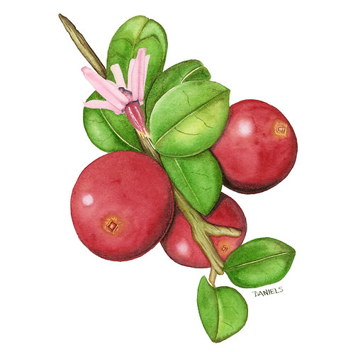 Cranberry Sprig Original Watercolor 10.5x12.5 inches