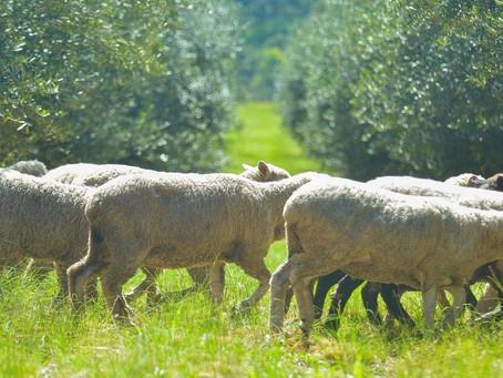 Criação de ovelhas junto a olivais cresce no Rio Grande do Sul