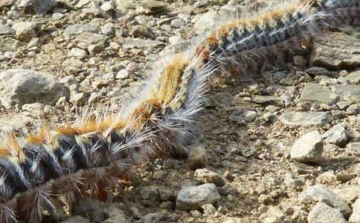 Alerta Processionária - a lagarta do Pinheiro