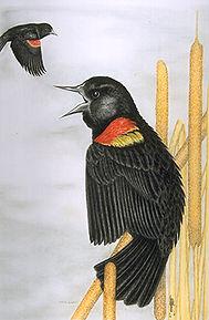 redwinged blackbirdUSEA9C6030BB11E44F2.j