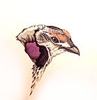 200croppedSharp-tailedGrouse-sold to A a