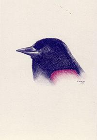 200croppedNeighborhood Birds Red-winged
