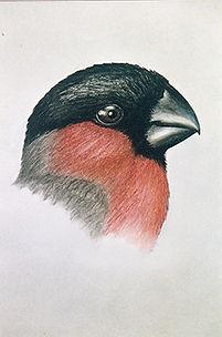 250croppedEurasian Bullfinch Saint Lawre