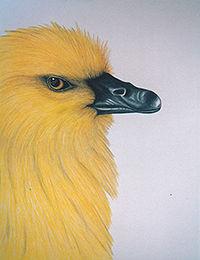 200Birding Through a Lifetime-gosling.jp