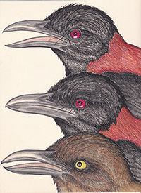 200Pitahoui  American Birds _20190223_00