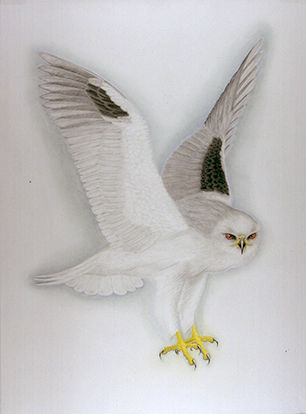 white-tailed_kiteUSE0843C7412C8D4FC9.jpg